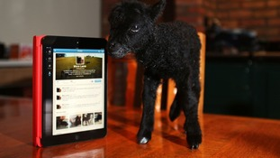 Micro Lamb keeps warm with rare breed Hebridean lamb farmer Gareth Barlow