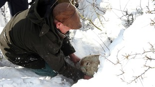 Gareth Wyn Jones pulls out a pregnant sheep that was trapped for four days beneath snow