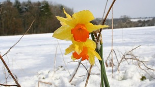 Daffodils in the snow near Poringland, Norwich in March 2008