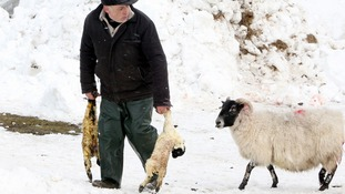 Eamon McNeill rescues two new born lambs from the snow as thousands of sheep are feared dead in the area