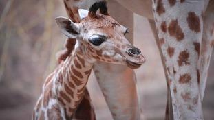 Rare giraffe born in Chester Zoo baby boom