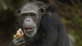 A chimpanzee tries a hot cross bun