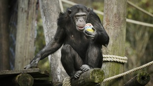 A lucky chimp with his painted egg