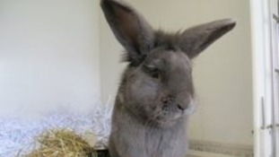 Jerry the rabbit at the Scottish SPCA centre in Edinburgh