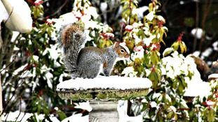 Feeding time for squirrels at Flitwick in Bedfordshire