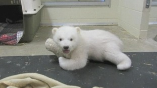 Kali makes friends with his stuffed polar bear toy at Alaska Zoo