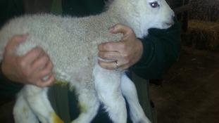 Quinto the lamb