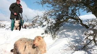 Farmer with sheep in snow