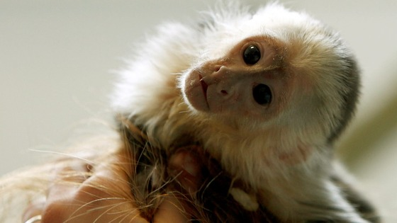 Mally, the pet monkey of Canadian singer Justin Bieber