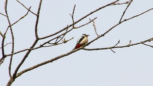 Skies clouding over behind a Lesser Spotted Woodpecker.