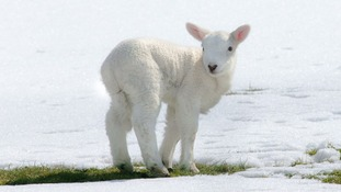 Baby lamb trying to avoid the cold