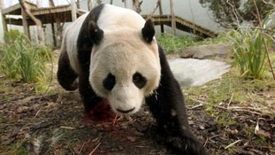 Male panda Yang Guang eats bamboo in a bid to bulk up ahead of breeding season.