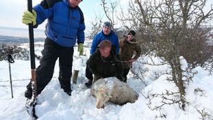 Sheep being dug from under snow