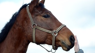 Phenylbutazone, or 'bute', is given to horses as a painkiller and should not enter the food chain