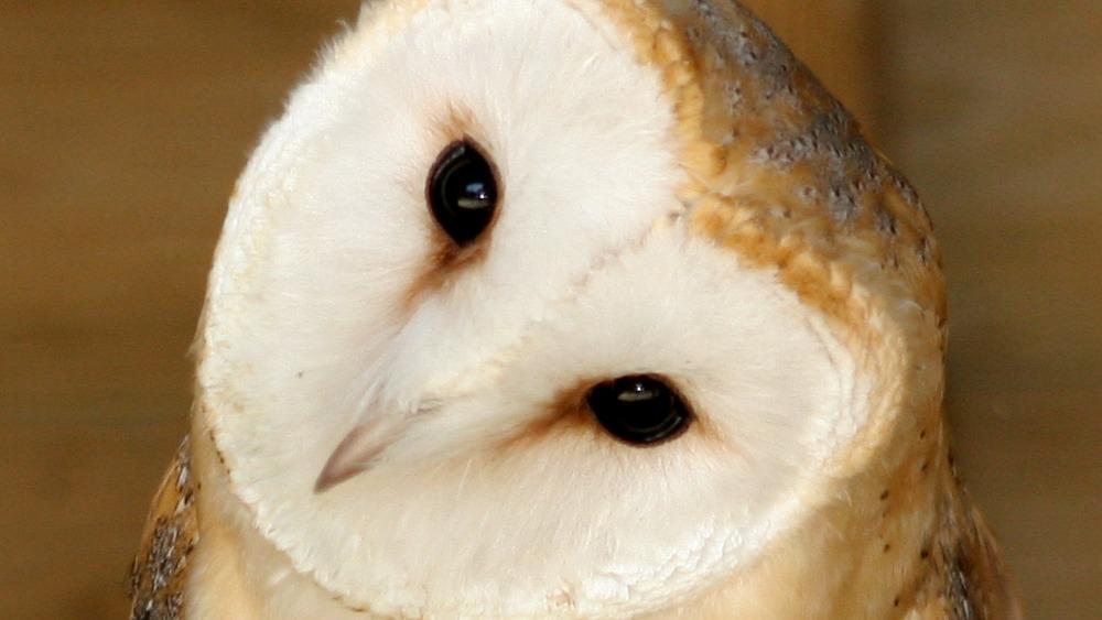 Barn owl webcam is a first for Suffolk Wildlife Trust ...