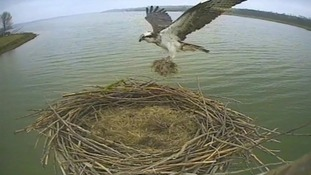 Cameras at Rutland Water record Osprey nests