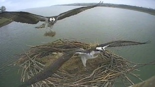 Ospreys nest building