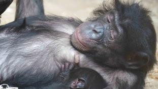 Twycross Zoo is the only place in the UK to house bonobos