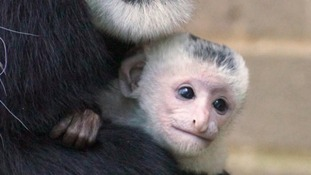 Anvil the baby colobus monkey