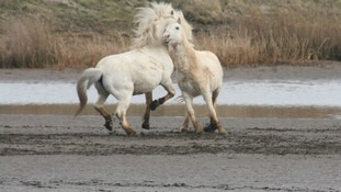 Ponies frolicking on a beach