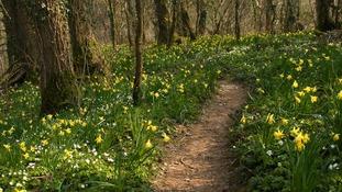 Woodland daffs