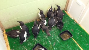 Guillemots at West Hatch