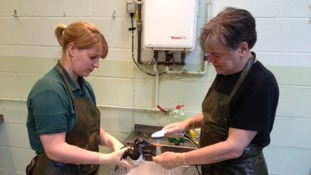 Experts at RSPCA West Hatch animal centre clean oiled birds