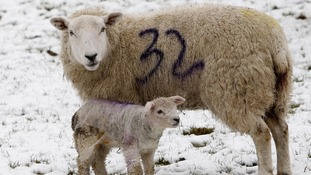 Defra has announced it will pay up to £250,000 to farmers who lost sheep killed in last month's freak snow in England.