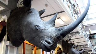 One of the four rhino heads stolen from the storage facility