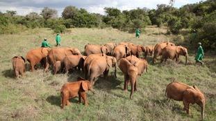 David Sheldrick Wildlife Trust helps protect Kenya's threatened elephants and rhinos