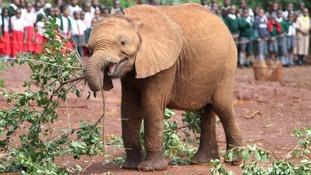Tundani was transported via charter plane to the DSWT Nairobi Nursery
