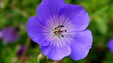 Geranium Rozanne, a tall, fast-growing geranium