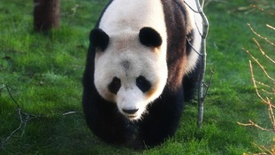 Tian Tian inspects her enclosure at Edinburgh Zoo