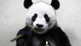 Yang Guang enjoys some bamboo in Edinburgh