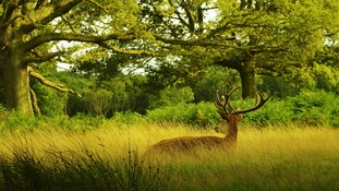 A deer in Richmond Park