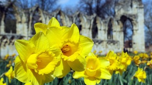 An apt metaphor? Daffodils on display amidst ruins in York