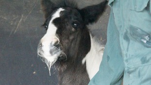 Rescued foal doing well at Redwings