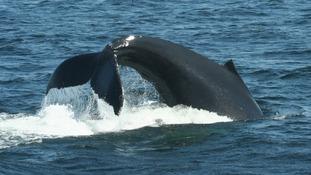 A Humpback whale lobtailing