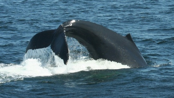 A Humpback whale lobtailing