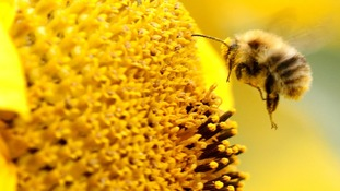 Bee collects nectar from a sunflower
