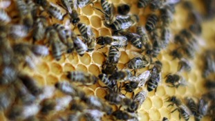 Bees crawl on a honeycomb