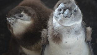 Endangered penguin chicks cared for at Whipsnade Zoo