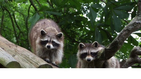 Racoons, Drusillas, East Sussex