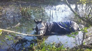 Mungo the horse stuck in the pond