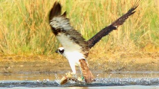 Ospreys return to Rutland
