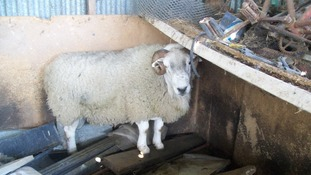 Forest of Dean Sheep Commoner prosecuted for causing unnecessary suffering to sheep
