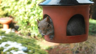 Squirrel peeping out from his squirrel feeder