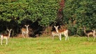 Fallow deer at Margam Park