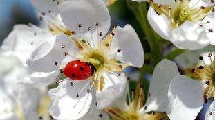 Ladybird on pear blossom