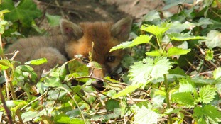 Baby fox in the undergrowth